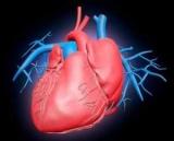 Периоды и фазы сердечного цикла: таблица. Что происходит в каждой фазе сердечного цикла